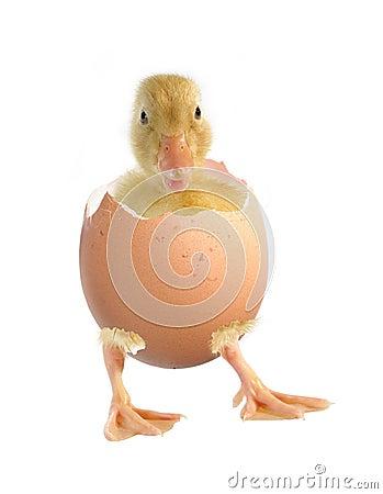 Pato e escudo do ovo