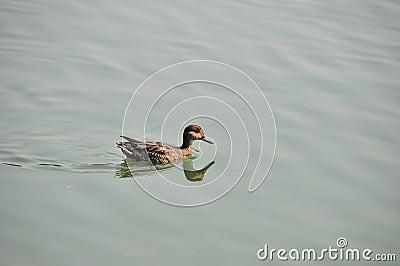 Pato salvaje
