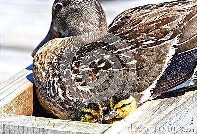 Pato silvestre con los anadones