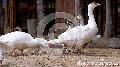 Patos comem comida na fazenda vídeos de arquivo