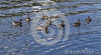 Patos en superficie reflexiva del agua