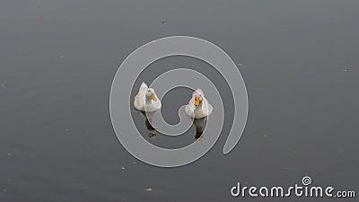 Patos, pássaros, gansos, Anatidae ou aves aquáticas Viagem família de aves aquáticas flutuando na superfície da água do lago Fech vídeos de arquivo