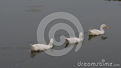 Patos, pássaros, gansos do pássaro, Anatidae ou aves aquáticas, família de pássaros que flutuam na superfície da água do lago em  video estoque