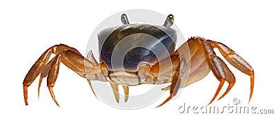 Patriot crab, Cardisoma armatum