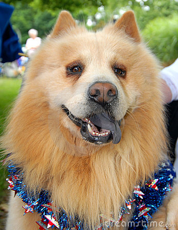 Patriotic Chow Dog