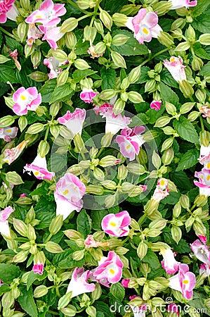 Patroon dat door de bloem van de ochtendglorie wordt samengesteld