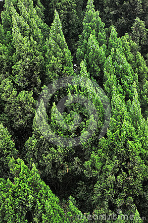 Pattern from many cypress trees