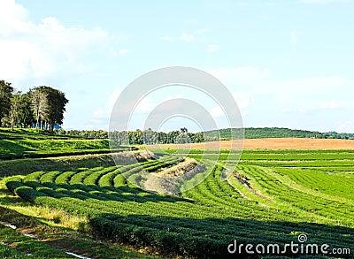 Pattern of tea plantation
