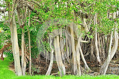 Pattern of Trunk of Banyan tree
