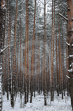Pattern of the winter pine tree forest