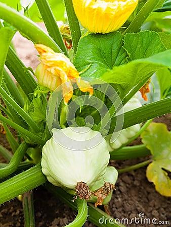 Free Pattypan Squash Growing On Vegetable Bed. Custard Marrow - A Plant Belonging To The Genus Cucurbita Stock Image - 37423891