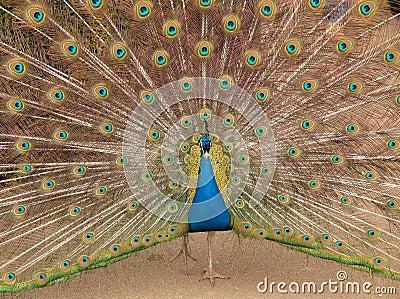Pavone indiano che video i colori immagini stock - Immagini pavone a colori ...