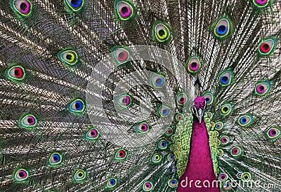 Pavone psichedelico 1 immagini stock libere da diritti - Immagini pavone a colori ...
