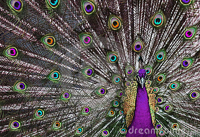 Pavone psichedelico 1 fotografia stock libera da diritti - Immagini pavone a colori ...
