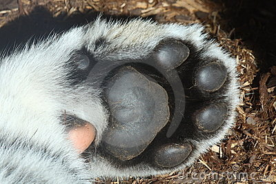 paw of baby tiger