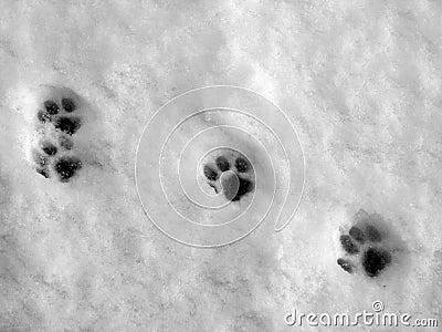 Paw prints on snow