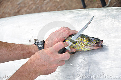 Pêcheur ceignant d un bandeau un poisson de brochets vairons
