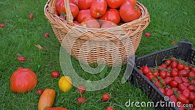 Pełny pudełko i kosz z dojrzałymi pomidorami na gazonie eco uprawiamy ziemię zbiory wideo