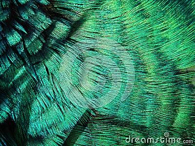 Pea Fowl Feathers