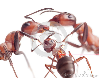 Peace and love in ants family