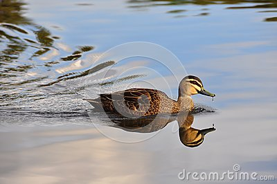 Peace and Stillness - swimming duck