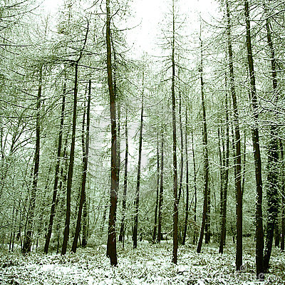 Free Peaceful Alpine Forest Covered In Snow, Stock Images - 5967574