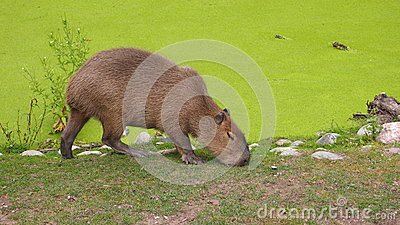 Peaceful Capybara eating grass