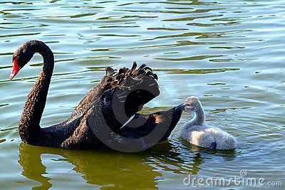 Peaceful time for mother black swan and her baby