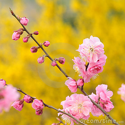 Free Peach Blossom Royalty Free Stock Images - 19080609