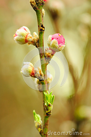 Free Peach Blossom Stock Photo - 68194370