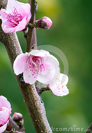 Free Peach Blossom Stock Images - 69248854
