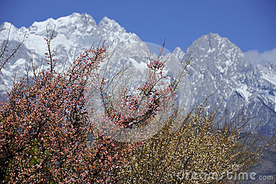 Peach blossom and snow mountain