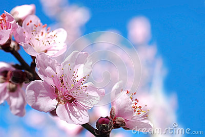 Peach blossoms flower