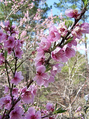 Free Peach Blossoms On A Branch Royalty Free Stock Photos - 588568