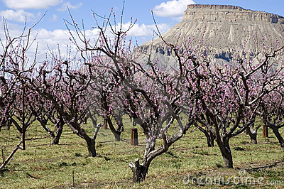 Peach Blossoms on Orchard Mesa