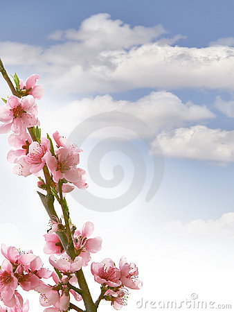 Peach branch with flowers