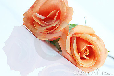 Peach colored rose, angled on white