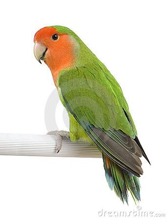 Peach-faced Lovebird - Agapornis roseicollis
