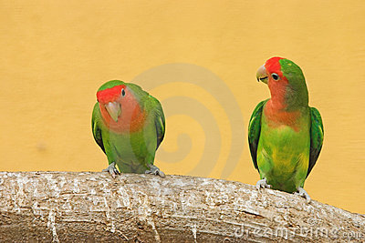 Peach faced lovebirds (Agapornis roseicollis)