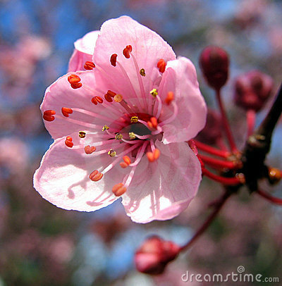 Free Peach Flower Stock Image - 7252231