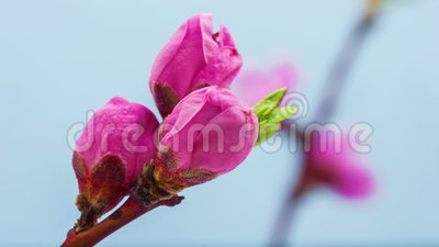 Peach flower blossoming time lapse. Time lapse video of a peach flower growing