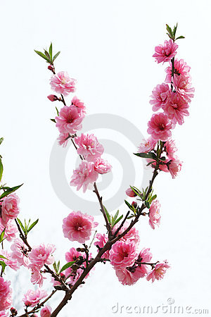 Free Peach Flowers Royalty Free Stock Image - 14226566