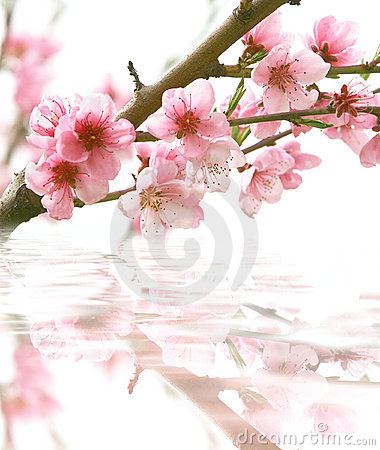 Free Peach Flowers And Its Reflection Stock Photo - 5804900
