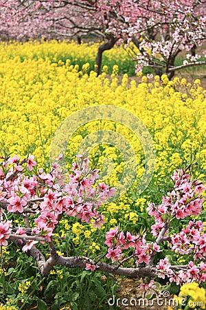 Free Peach Flowers And Rape Flowers Stock Photos - 24729283