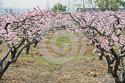 Peach forest