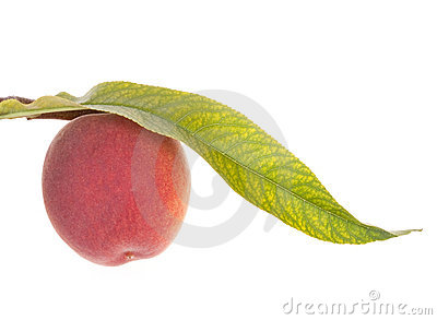 Peach fruits with leaf
