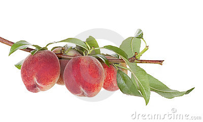 Peach fruits tree with leafs
