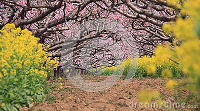 Peach orchard in spring