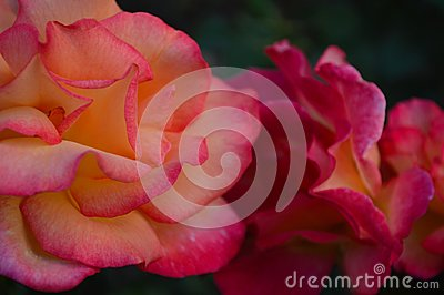 Closeup of beautiful peach-pink rose blossoms