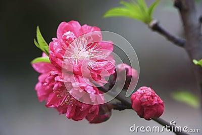 Peach in rain